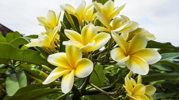 Clearly blooming plumeria