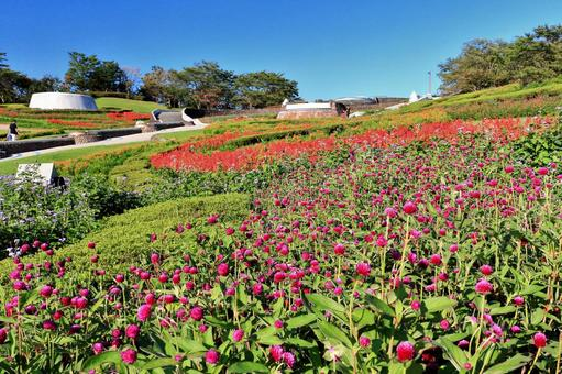 The flower garden where the red sunflowers bloom