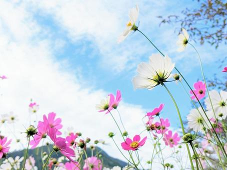 Pink and white cosmos blooming in the autumn sky Autumn cherry blossoms Kosumos background wallpaper
