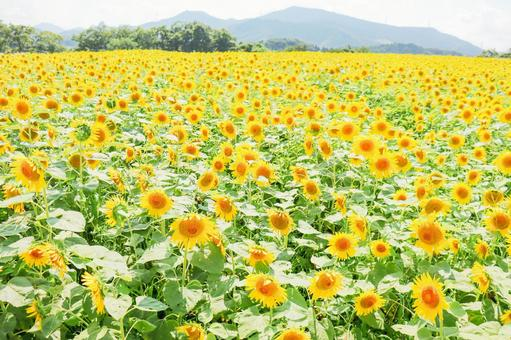 Sunflower field blooming all over