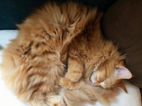 흰색 쿠션에서 낮잠을 사이베리안의 고양이 001