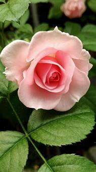 장미 꽃 003