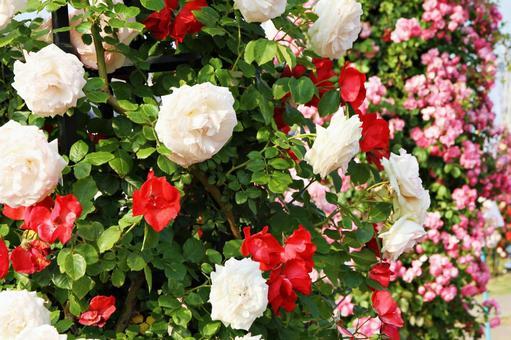 장미 빨간색과 흰색