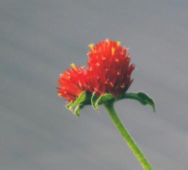 Red amaranth that looks like a heart symbol