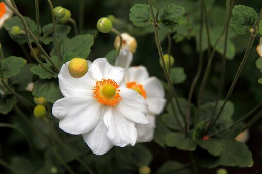 흰색 슈우메이기쿠