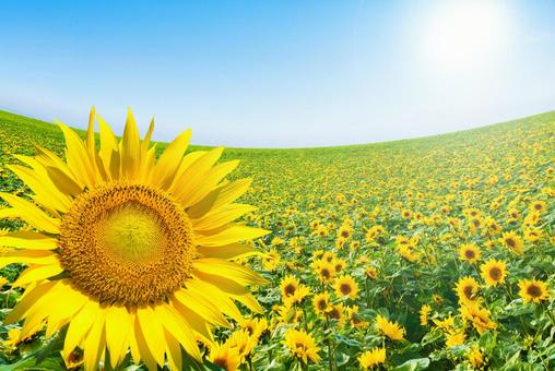 Sunflower field and blue sky (summer image material)