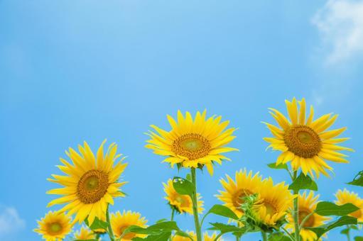 Sunflower field 42