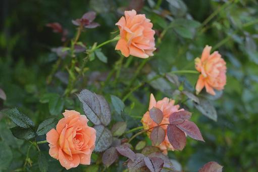 多朵帶有晨露的鮭魚粉玫瑰 學名孟加拉語