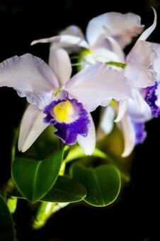 Orchid flower _ black background