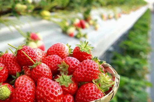 새빨간 딸기 딸기 따기 딸기 딸기 과일 따기