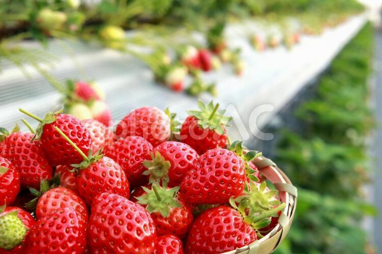 真っ赤ないちご いちご狩り 苺 イチゴ フルーツ狩りの写真