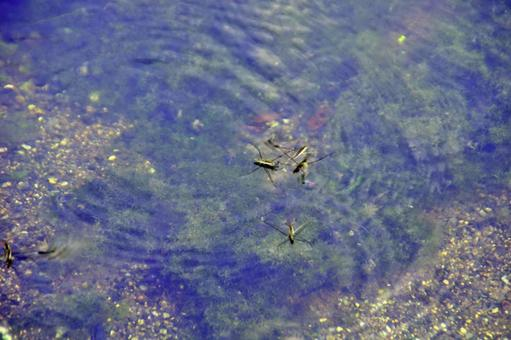 Water striders 6