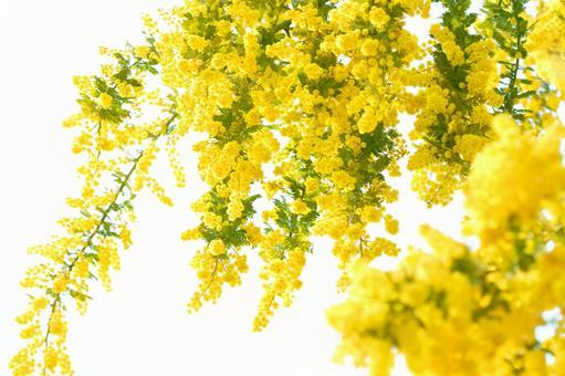 Mimosa glitter 5