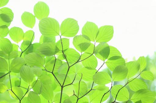 新鮮的綠葉幼葉花並