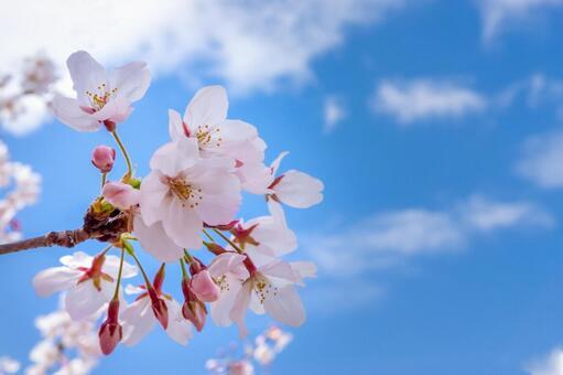 桜の写真素材|写真素材なら「写真AC」無料(フリー)ダウンロードOK