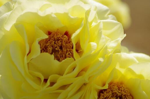 黄色的牡丹