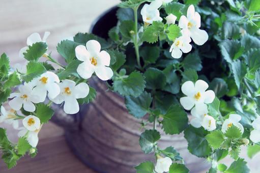 白色的花朵