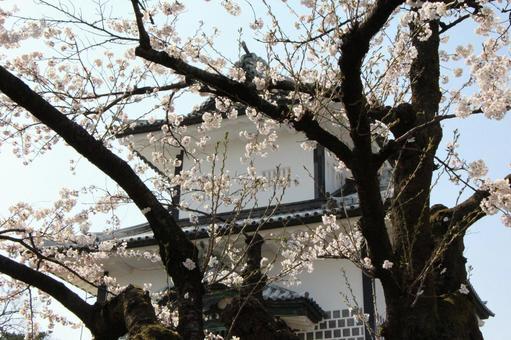 在兼六园和石川门的樱花