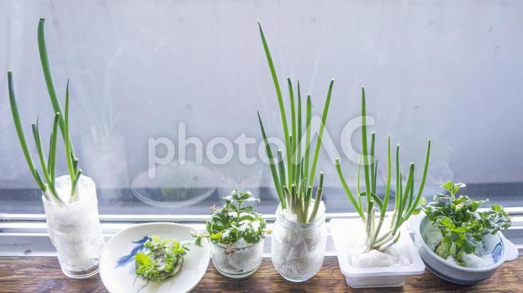 窓辺に並んだ野菜の新芽たちの写真