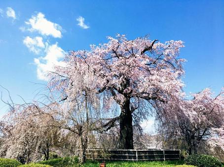 丸山公園的垂枝櫻花