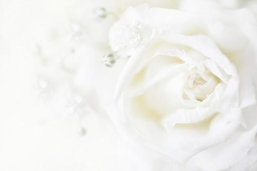 White rose and blurred grass background material
