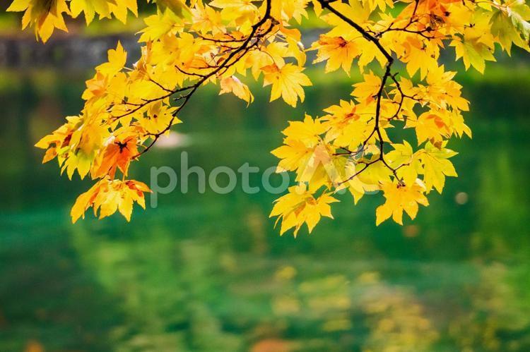 軽井沢の雲場池の紅葉の写真