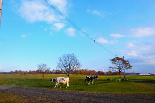 Cows I met in Hokkaido