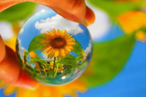 Sunflower field in a glass ball