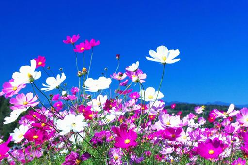 Cosmos beautiful and blooming