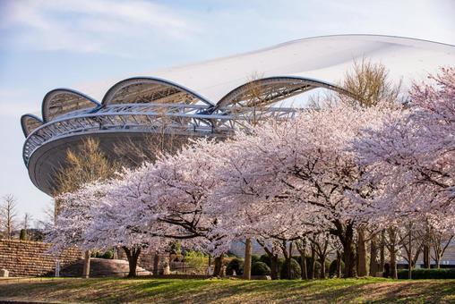 Big swan and sakura