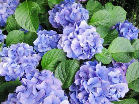 Blue Hydrangea 9