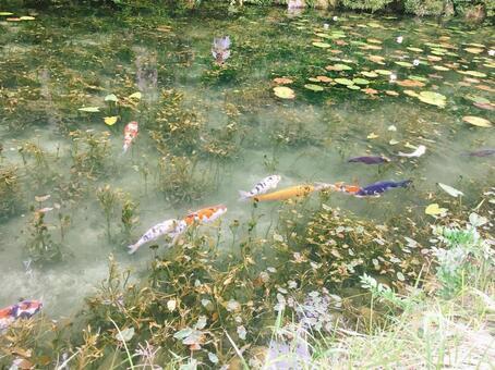 모네의 연못 잉어
