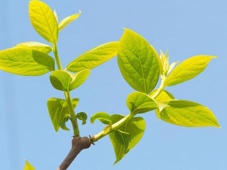 Young leaves of Japanese allspice and blue sky