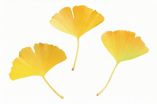Gingko leaf clipping 1