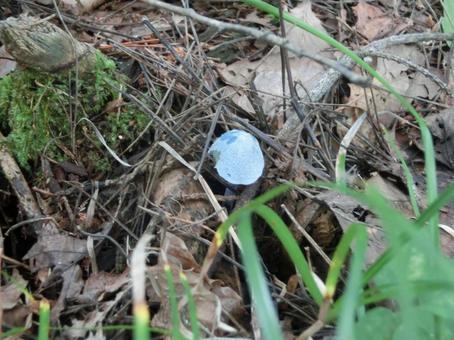 소라이로타케 파란 버섯