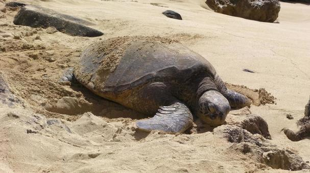 거북이 거북이 백사장 하와이 노스 쇼어 바다