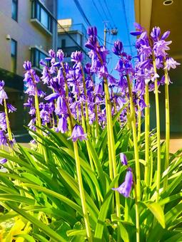 보라색의 꽃 (블루 벨)