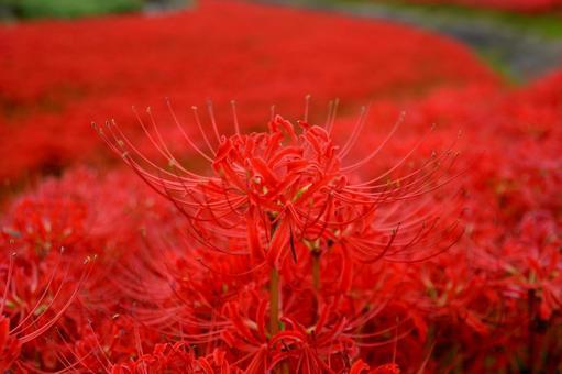 모에 逢妻女川의 피안 꽃