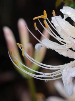 흰색 피안 꽃