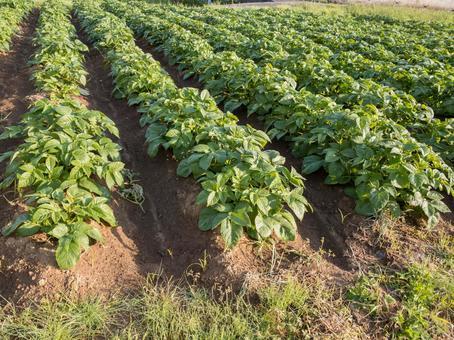 주택가의 감자 밭