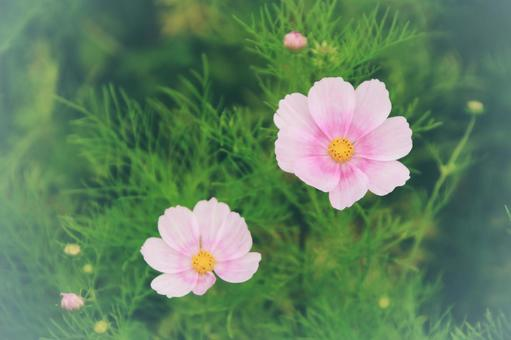 핑크 코스모스