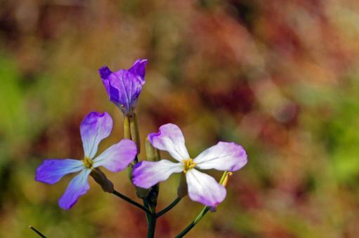 연보라의 끝이 귀여운 무의 꽃