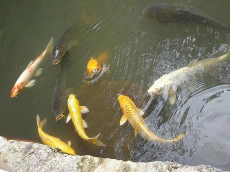 연못의 잉어