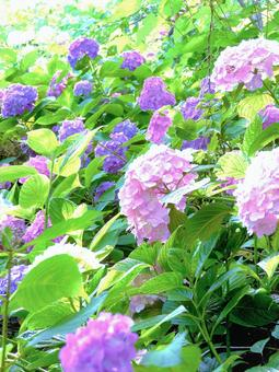 Hydrangea hydrangea, a cluster of hydrangeas in the mountains with beautiful greenery in the glittering light