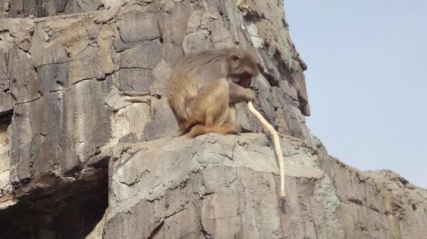 猴子咬樹枝