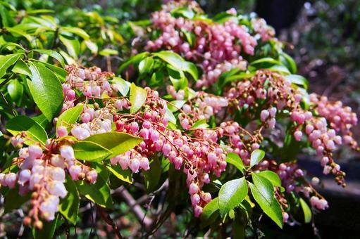 아케보노 안드로메다 (유독 식물) [꽃]