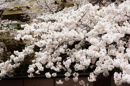 교토 헤이안 신궁의 벚꽃