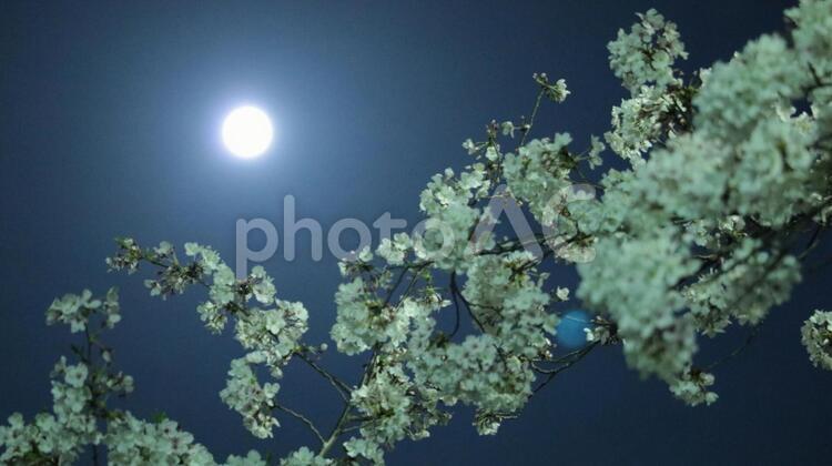 スーパームーン 月明かりに照らされる夜桜とフレアーの写真