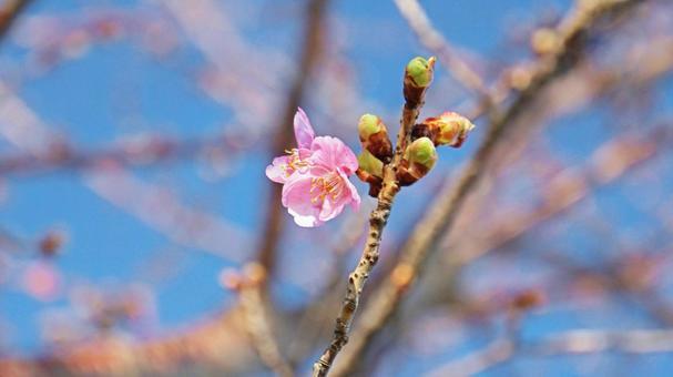 벚꽃의 개화 봄