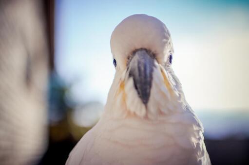 澳大利亞野生鳥類Kivatan英文名Cockatoo Backlight是早晨陽光復古風格的光線